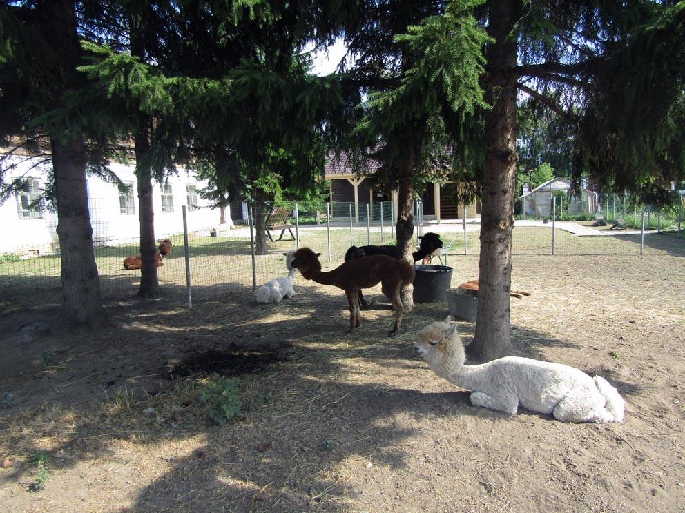 Альпаки на территории Покровской обители в наши дни